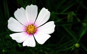 Картинка цветок, фон, космея