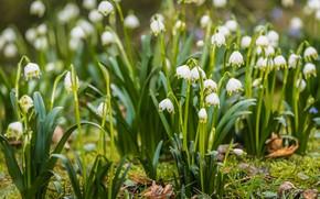 Картинка цветы, поляна, весна, белые, подснежнки