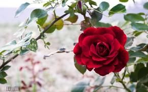 Картинка цветок, роза, red, rose, красная, flower