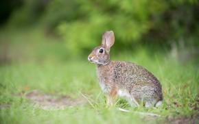 Картинка трава, взгляд, серый, поляна, заяц, зайчик, размытый фон