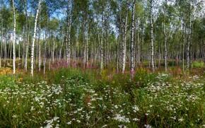 Картинка зелень, поле, лес, лето, цветы, ветки, природа, настроение, поляна, листва, луг, березы, берёзы, полевые, дереья, …