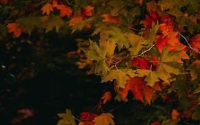 Картинка осень, листья, красные, клён
