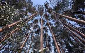 Картинка лес, деревья, сосны