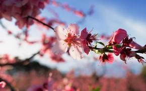 Картинка цветы, ветка, весна, сакура, розовые, цветение