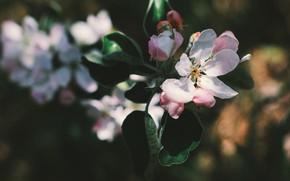 Картинка листья, свет, цветы, темный фон, ветка, весна, белые, яблоня, цветение, боке, яблоневый цвет