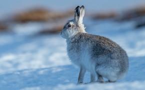 Картинка зима, взгляд, свет, снег, поза, заяц, тени, профиль, сидит, зайчик