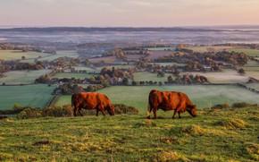 Картинка поле, природа, две, вид, коровы, деревня, пастбище, пара, быки