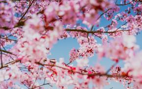 Картинка свет, цветы, ветки, вишня, дерево, красота, размытие, ветка, весна, сакура, розовые, цветение, боке, голубое небо