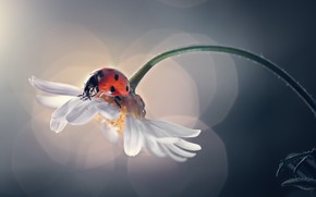 Картинка цветок, природа, божья коровка, ромашка