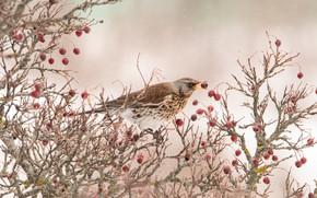 Картинка ягоды, птица, на ветке