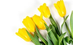 Картинка тюльпаны, белый фон, бутоны, жёлтые