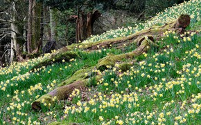 Картинка цветы, Англия, весна, нарциссы, Озёрный край, Камбрия