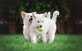Картинка собаки, лето, трава, парк, газон, футбол, поляна, игрушка, игра, мяч, щенки, пасть, пара, прогулка, мячик, …