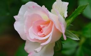 Картинка макро, розовая, роза, бутон