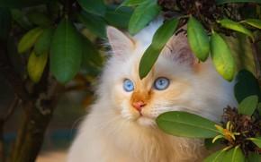 Картинка кошка, кот, взгляд, листья, ветки, котенок, портрет, пушистый, рыжий, котёнок, голубые глаза, мордашка, персиковый