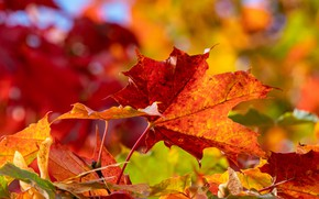 Картинка осень, листья, макро, кленовые листья, боке