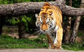 Картинка взгляд, морда, природа, тигр, поза, дерево, прогулка, крадется