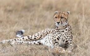 Картинка трава, взгляд, морда, природа, поза, гепард, лежит, светлый фон