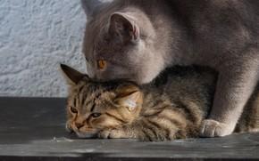 Картинка кошка, котёнок, Британская короткошёрстная кошка