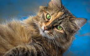 Картинка кошка, кот, взгляд, мордочка, котейка