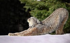 Картинка зима, лес, свет, снег, утро, зарядка, Рысь, Lynx, Канадская рысь
