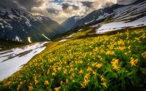 Картинка лес, свет, снег, цветы, горы, весна, желтые, склон