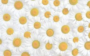 Картинка цветы, ромашки, текстура