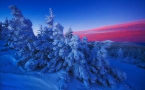 Картинка зима, снег, деревья, ель, зарево