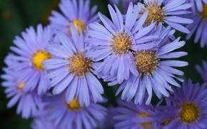 Картинка цветы, куст, сад, много, сиреневые, астры