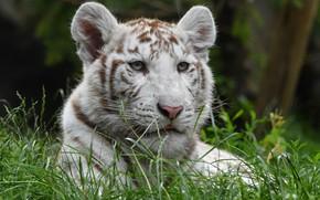 Картинка белый, трава, взгляд, морда, тигр, портрет, тигренок, тигрёнок