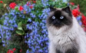 Картинка кошка, кот, цветы, портрет, сад, мордочка, голубоглазая, пушистая, сиамская, колор-пойнт, рэгдолл