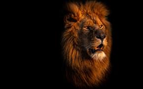 Картинка взгляд, морда, портрет, лев, пасть, грива, черный фон