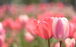 Картинка поле, весна, тюльпаны