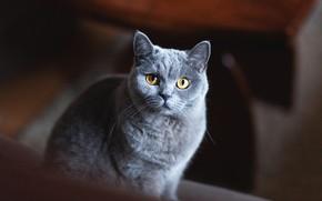 Картинка кошка, кот, взгляд, морда, темный фон, серый, портрет, серая, британский, дымчатый, желтые глаза, британская