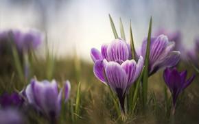 Картинка цветы, весна, крокусы, крокус