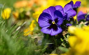 Картинка лето, трава, цветы, размытие, желтые, фиолетовые, анютины глазки, боке, фиалки, виолы