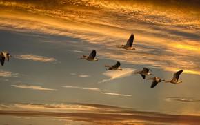 Картинка небо, облака, свет, полет, закат, птицы, стая, гуси, стая птиц, размах крыльев, летящие