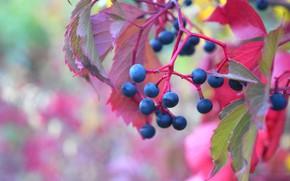 Картинка осень, ягоды, виноград, красные листья