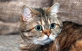 Картинка кошка, кот, взгляд, морда, крупный план, серый, фон, диван, портрет, ткань, полосатый, зеленые глаза, британский, …