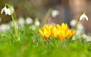 Картинка цветы, настроение, поляна, весна, желтые, подснежники, крокусы, боке