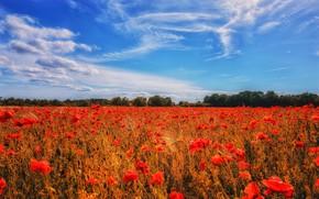 Картинка лето, небо, облака, цветы, синева, мак, маки, красные, маковое поле
