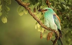 Картинка птица, ветка, Сизоворонка