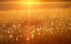 Картинка поле, лето, свет, природа, одуванчики