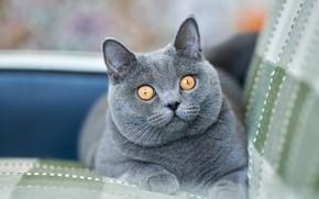 Картинка взгляд, мордочка, котейка, Британская короткошёрстная кошка