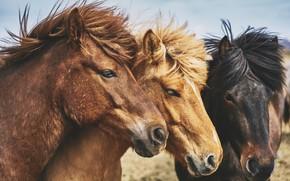 Картинка взгляд, природа, конь, лошадь, кони, лошади, грива, три, трио, морды, троица, исландские