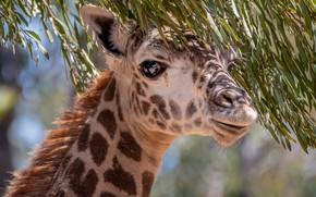 Картинка глаза, ветки, жираф, шея
