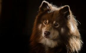 Картинка взгляд, морда, портрет, собака, тёмный фон, Финский лаппхунд