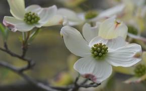 Картинка цветки, макро, ветка, лепестки, кизил