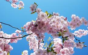 Картинка весна, сакура, цветение