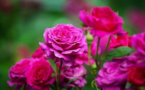 Картинка яркие, розы, сад, розовые, боке